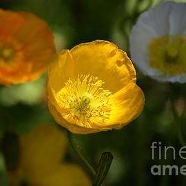 Fiona Craig - Three Iceland Poppies