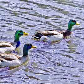 Bob and Nadine Johnston - Three Mallard Musketeers