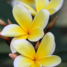 Sabrina L Ryan - Three Pretty Plumeria Flowers