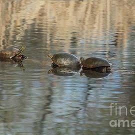 Teresa Thomas - Three Red-Belly Turtle Friends