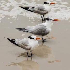 Elaine Schwetz - Three Royal Terns