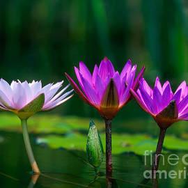 Chris Scroggins - Three Water Lilies