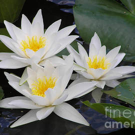 Kerstin Ivarsson - Three white waterlilies
