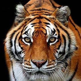 Sandra Sengstock-Miller - Tiger Eyes