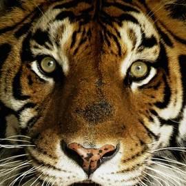 Devina Browning - Tiger Face