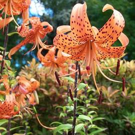 Nancy Pauling - Tiger Lilies
