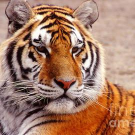 Eva Kato - Tiger Portrait