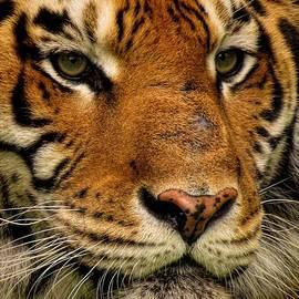 Devina Browning - Tiger Profile