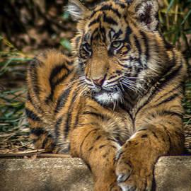 Randy Scherkenbach - Tiger
