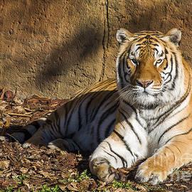Steven Ralser - Tiger