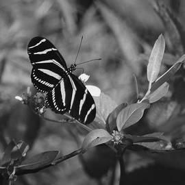 Joseph G Holland - Tiger Stripe Butterfly