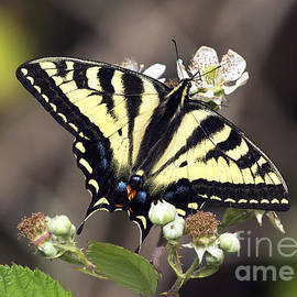 Sharon  Talson - Tiger Swallowtail Butterfly 2a