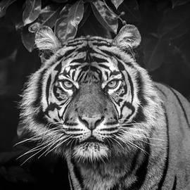 Darren Wilkes - Tiger Tiger