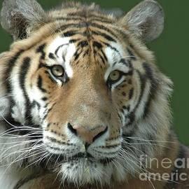 Kathleen Struckle - Tiger Tiger