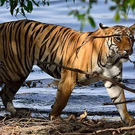 Fotosas Photography - Tigress along the banks