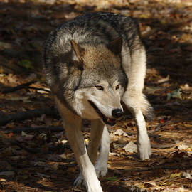 Inspired Nature Photography By Shelley Myke - Timber Wolf in an Autumn Forest
