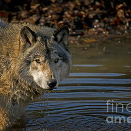 World Wildlife Photography - Timber Wolf Pictures 1103
