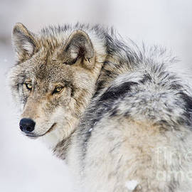 World Wildlife Photography - Timber Wolf Pictures 1268