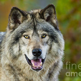 World Wildlife Photography - Timber Wolf Pictures 1388