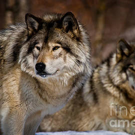 World Wildlife Photography - Timber Wolf Pictures 1485