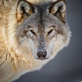 World Wildlife Photography - Timber Wolf Pictures 1497