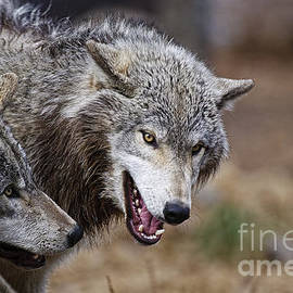World Wildlife Photography - Timber Wolf Pictures 173