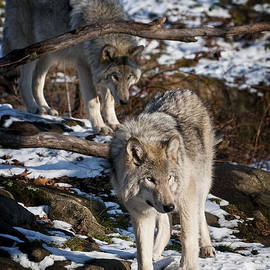 World Wildlife Photography - Timber Wolf Pictures 957