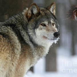 Inspired Nature Photography By Shelley Myke - Timber Wolf Watch