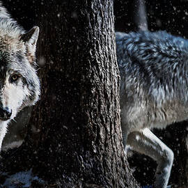 Tracy Munson - Timber Wolves in the snow
