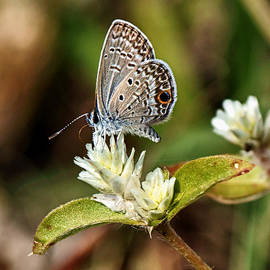 Dan Dennison - Tiny Butterfly