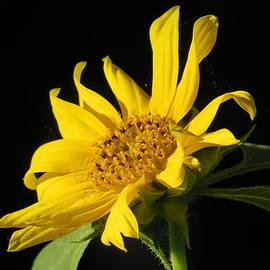 B Vesseur - Tiny Sunflower