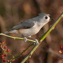Lara Ellis - Titmouse On Wild Rose Branch
