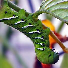 Catherine Melvin - Tomato Caterpillar