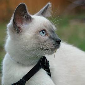 Alivia Houdek - Tonkinese Kitten