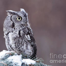 Inspired Nature Photography By Shelley Myke - Touched by Grace Eastern Screech Owl