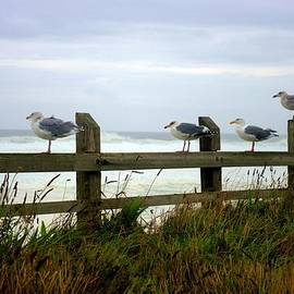 John  Greaves - Trained Gulls