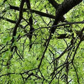 Cynthia Guinn - Tree Branches