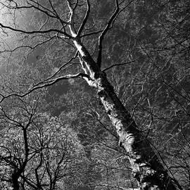 Larry Goss - Tree Capillaries