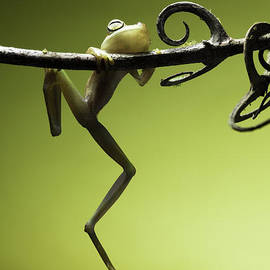 Dirk Ercken - Tree frog falling avoid extinction