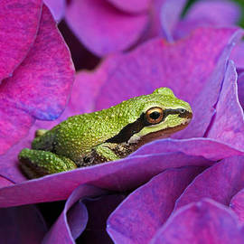 Lynne McClure - Tree Frog on Hydrangea