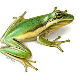 Sarah Batalka - Green Tree Frog