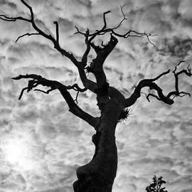 Douglas Barnard - Tree Silhouette-Cotton Clouds