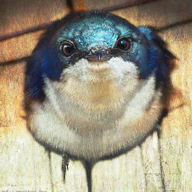 R christopher Vest - Tree Swallow At Nest Box