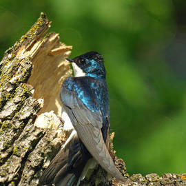 James Peterson - Tree Swallow