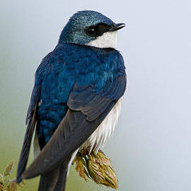World Wildlife Photography - Tree Swallow Pictures 9