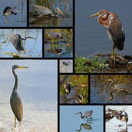 Dawn Currie - Tri-Color Heron Collage