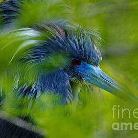 John F Tsumas - Tri-Colored Heron Concealed on sale 16x20 canvas print $75