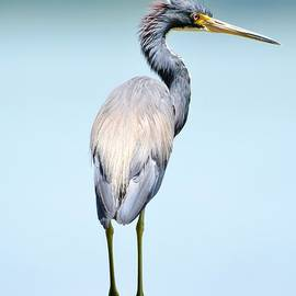 Suzi Harr - Tri Colored Heron