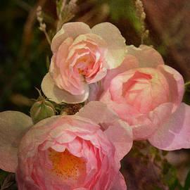 Carla Parris - Trio of Antique Heirloom Roses
