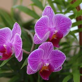 Rumyana Whitcher - Trio Orchids In A Basket